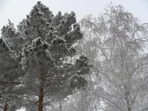 Сосна и береза зимой