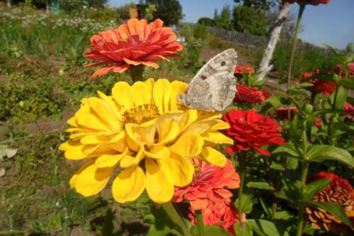 Циния и бабочка